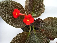 Episcia 'Jim's Porcelain Doll'