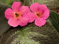 Episcia 'Jim's Canadian Sunset'