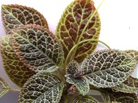 Episcia 'Sparkle Plenty'